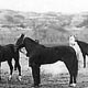Pit ponies used in the coal mines.   Photo courtesy of Glenbow Archives.