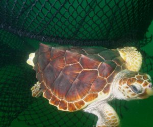 A Turtle Excluder Device (TED) enables a loggerhead turtle to escape from a net.