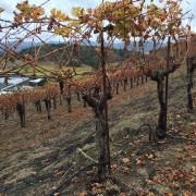 A burned vineyard site at Robert Sinskey's winery in Napa, CA.