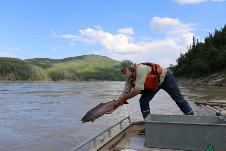 Chinook salmon released into Yukon River in Alaska, USA. Photo: USGS