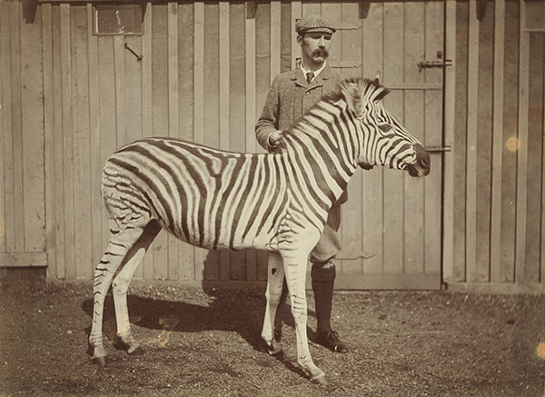 J.C Ewart with Burchell's zebra c.1900