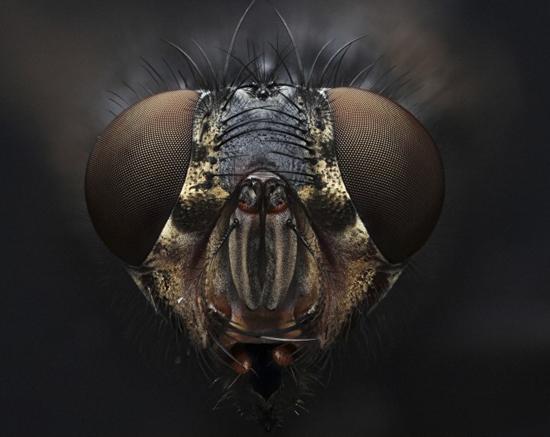 Fly's head