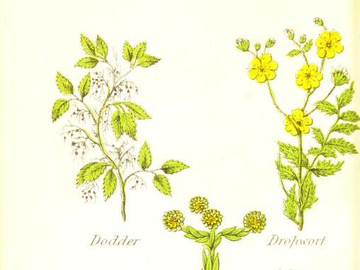 Illustrations of dropwort and dodderer