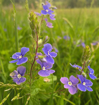 Speedwell. Image credit: Christy Henshaw.