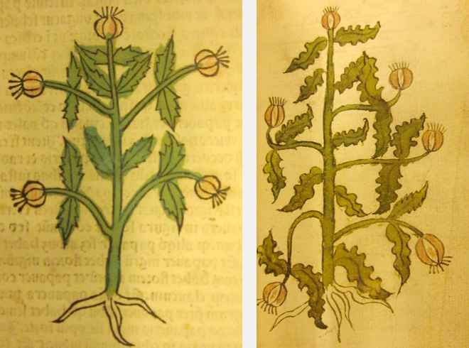 Woodcut of poppy and manuscript image of poppy.