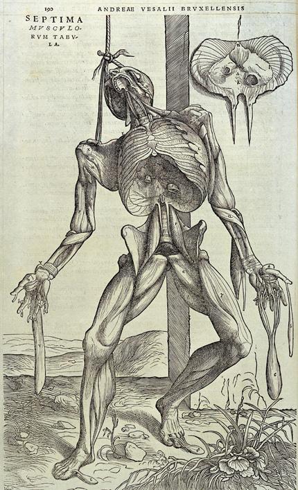 Anatomical woodcut from Vesalius.