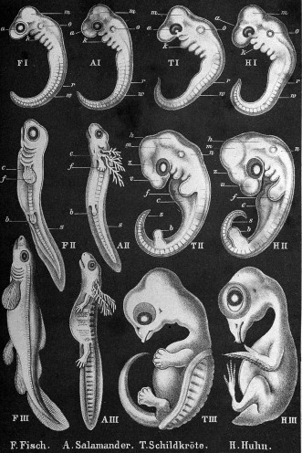 Comparative embryos from Anthropogenie by Ernst Haeckel. WI reference no. L0027291