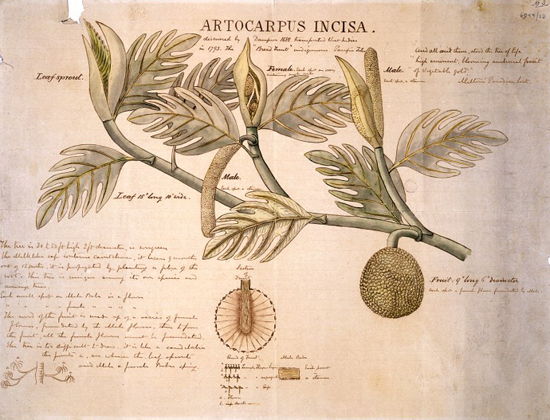 Artocarpue incisa (breadfruit). Ink and Watercolour 1882 By: General Charles George Gordon Published:  -