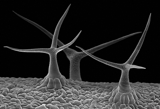 Arabidopsis leaf hairs (trichomes) Credit: Stefan Eberhard. Wellcome Images images@wellcome.ac.uk http://wellcomeimages.org Scanning electron micrograph (SEM) of trichomes, hair-like outgrowths on the surface of an Arabidopsis (rockcress) leaf. Each trichome is unicellular and develops from a single epidermal cell. They can protect against insect damage, water loss and radiation damage. Magnification 200x. Scanning electron micrograph 2013 Published:  -  WI no. B0008896