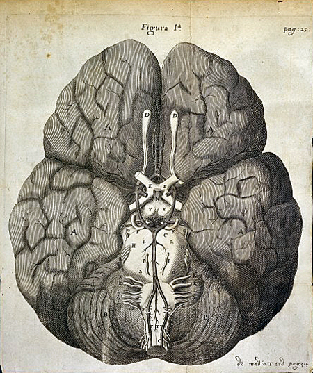 Human brain, with cerebellum  and nerves, T. Willis, Cerebri anatome, 1664. Wellcome Images L0032335