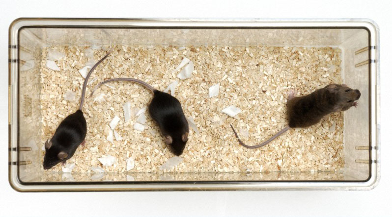 Mice used in scientific research.  Wellcome Images No. C0018209
