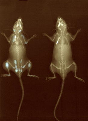 X-ray of normal and transgenic mice. Wellcome Images No. B0003657.