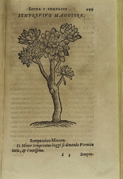 Woodcut of Houseleek (Sempervivum tectorum) used to soothe inflammations of the skin such as bee stings, rashes, ulcers etc Woodcut 16th century From: Semplici ... liquali in piu pareri à diversi nobili huomini scritti appaiono  By: Luigi Anguillara, and Giovanni Marinello, Published: Appresso Vincenzo Valgrisi, Vinegia  1561  Page 277