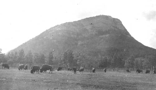 Buffalo in front of Tunnel Mountain