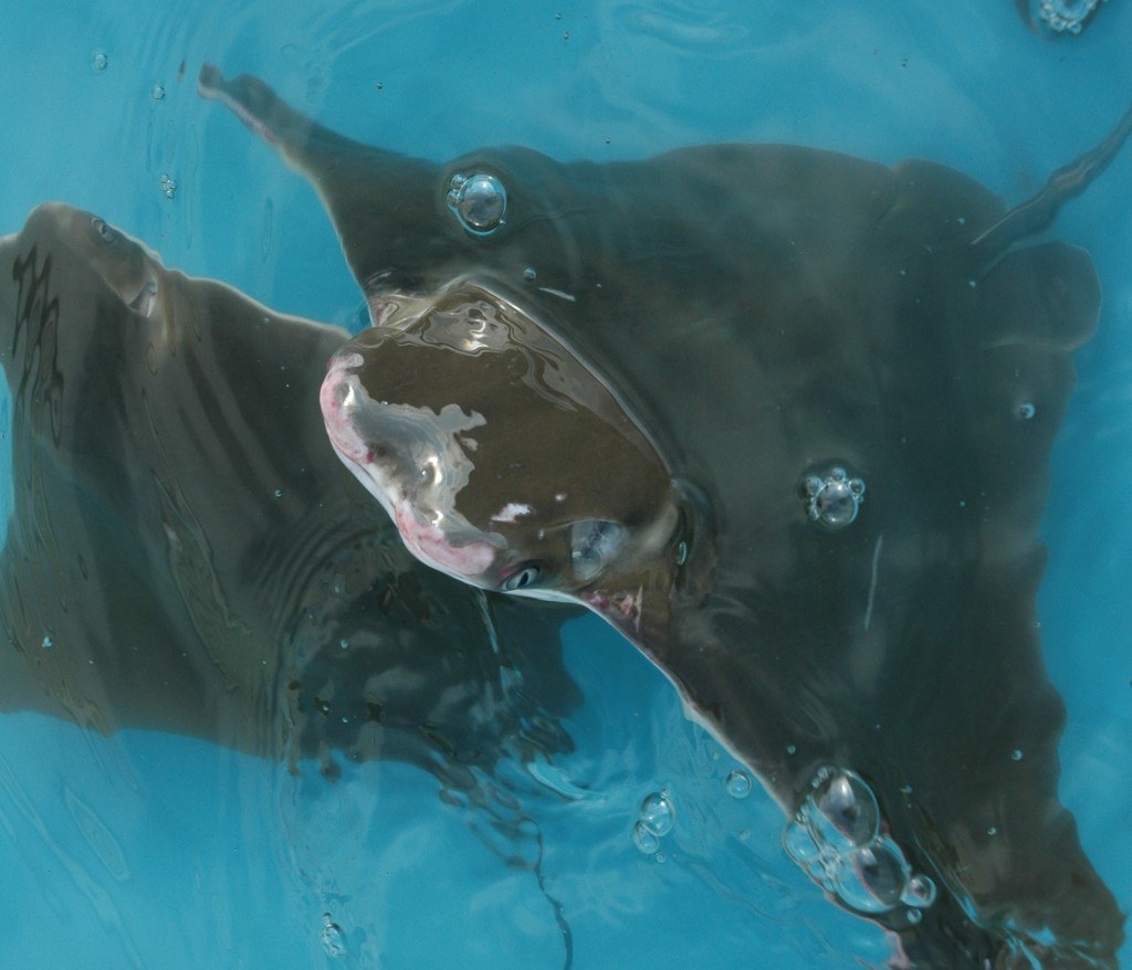 A cownose ray popping out of the kiddie pool. (SERC)