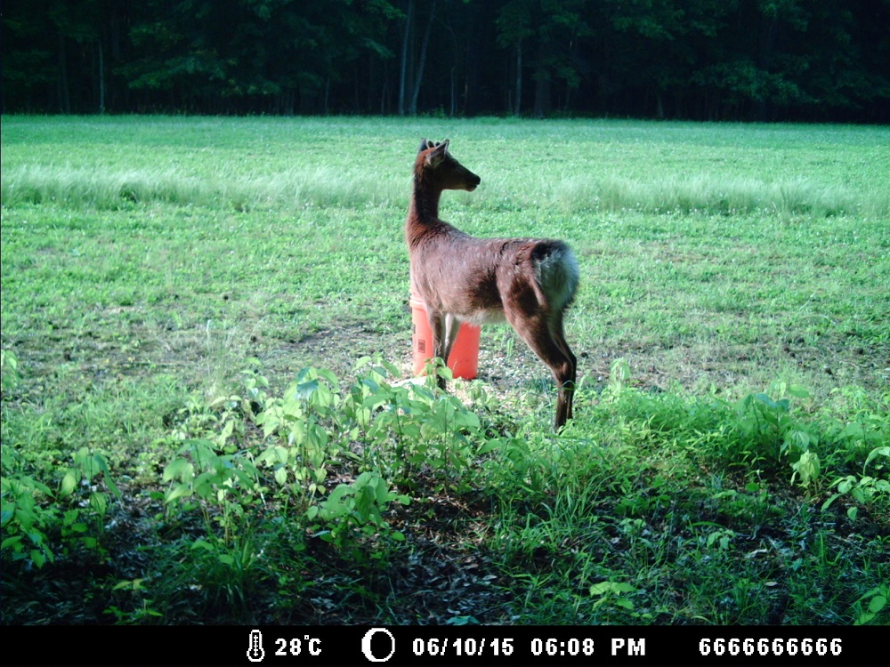 A sika deer caught by the motion-activated camera. (John Devaney and Lisa Koetke)
