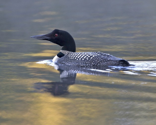 Loon at south end, Damariscotta Lake, Maine (Flickr photo by Keith Carter)