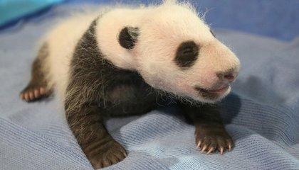 New Video: The Panda Cub Sneezes (Hilarious!)