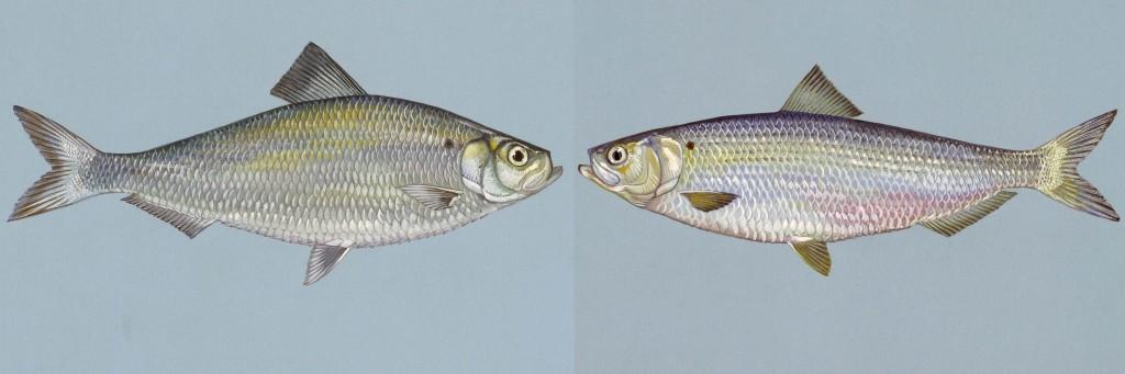 Image: Left: Alewife. Right: Blueback Herring. (Credit: U.S. Fish & Wildlife Service)