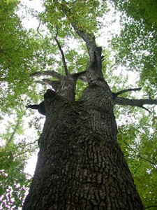 Photo of tree from ground up through canopy.