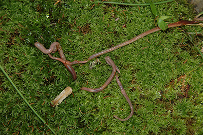 Common earthworm invaders.