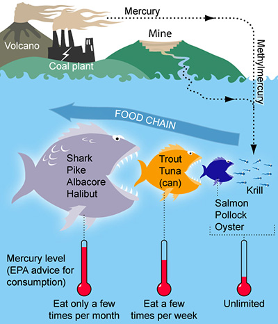 Graphic of methylmercury moving through the food chain.