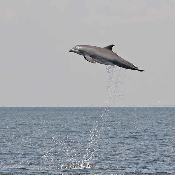 Bottlenose Dolphin in the Gulf of Mexico Photo taken under NOAA permit # 779-1633. (NOAA Southeast Fisheries Science Center)