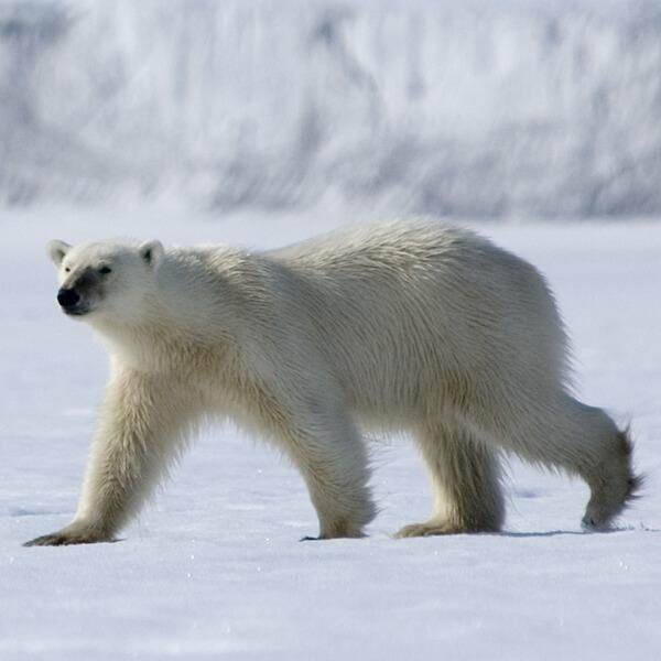 Polar bear, Hornsund, Greenland
