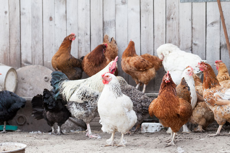 facts about chickens