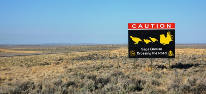 Photo of Sage Grouse Crossing