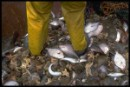 Discarded fish on deck of North Sea trawler