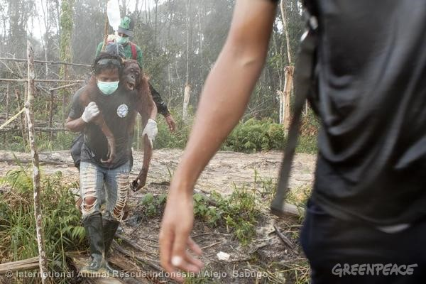 Orang-utan rescue from an oil palm concession in Indonesia © International Animal Rescue Indonesia / Alejo  Sabugo