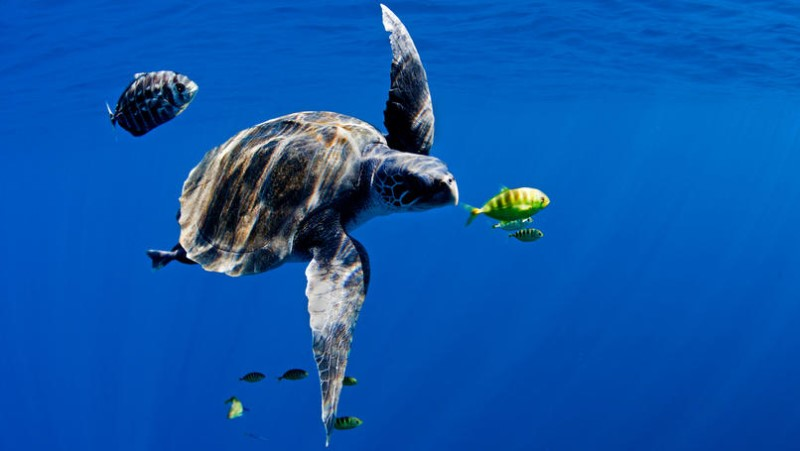An Olive Ridley turtle ( Lepidochelys olivacea ) swims in the open blue ocean of the Pacific, 16th October 2011. Greenpeace is touring the Pacific, promoting marine reserves and conservation measures to protect fish stocks and all marine life. Photo: Paul Hilton / Greenpeace