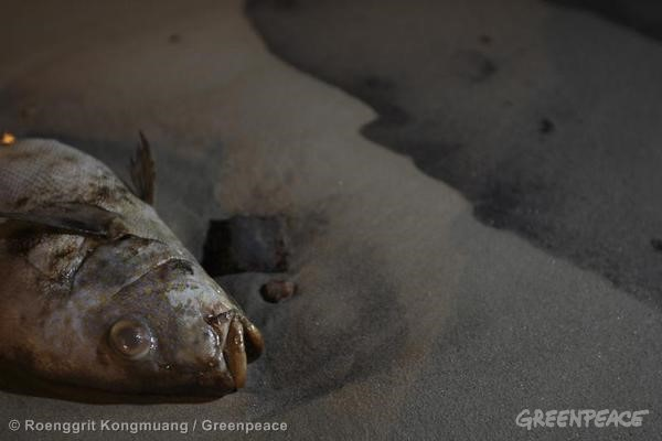 Dead Fish on Oiled Beach in Thailand. 07/30/2013 © Roengrit Kongmuang / Greenpeace