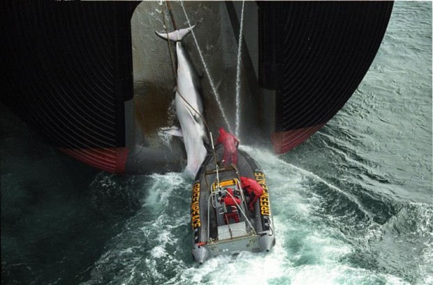 Greenpeace inflatable hooks on to a Japanese whaling boat while it is pulling a caught whale on board 2000.© Greenpeace / John Cunningham