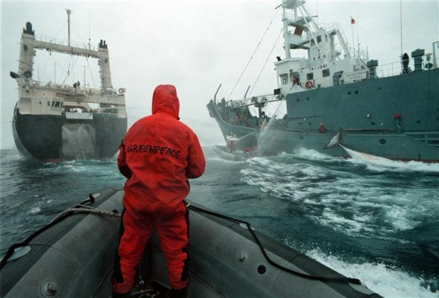 Greenpeace action trying to prevent the  transfer of caught whale from catcher ship to factory ship in the Southern Ocean in 1999.© Greenpeace / John Cunningham