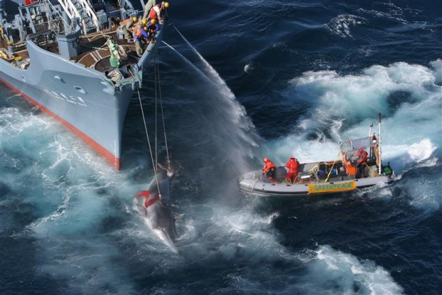 Greenpeace ship MY Esperanza and her inflatables , try to hinder the shooting and eventual transfer of a minke whale by the Yushin Maru No.2 catcher ship in 2005.© Greenpeace / Kate Davison