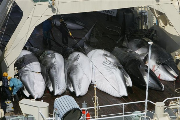 Greenpeace witnesses the killing of whales in the Southern Ocean by the Yushin Maru and the Kyo Maru No.1 ships of the Japanese whaling fleet, and the transfer of the whales to the Nisshin Maru factory ship in 2005.© Greenpeace / Jeremy Sutton-Hibbert