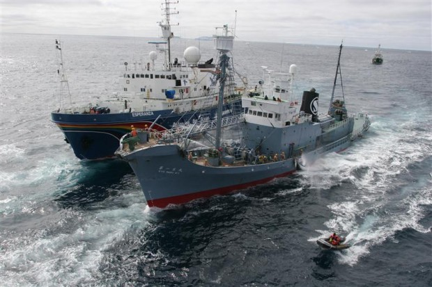 Greenpeace ship MY Esperanza and the MY Arctic Sunrise (in background) and their inflatables try to hinder the transfer of a dead minke whale from the Japanese whaling fleet catcher ship Kyo Maru No.1 to the Nisshin Maru factory ship in 2005.© Greenpeace / Jeremy Sutton-Hibbert