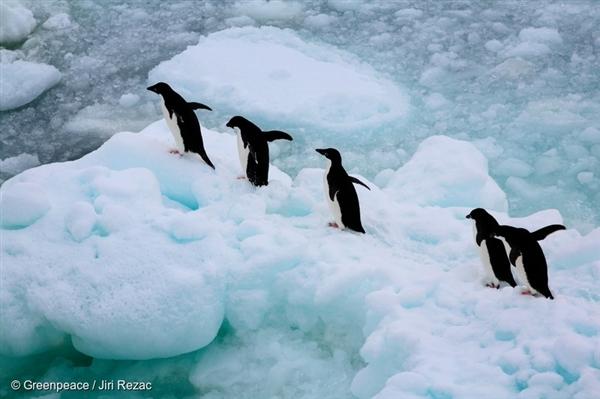 Skupina tučňáků kroužkových na mořském ledu v Jižním oceánu.