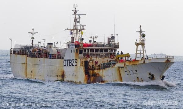 The Korean Longliner Insung No3 arrives in Busan, South Korea. According to Greenpeace the fishing vessel was engaged in illegal fishing activities and was reportedly carrying 60 tonnes of illegal catch onboard. Greenpeace is calling on South Korea's Ministry of Oceans and Fisheries (MOF) to investigate the illegal vessel and close regulation loopholes for its distant water fishing fleet. 10/07/2014 © Paul Hilton / Greenpeace