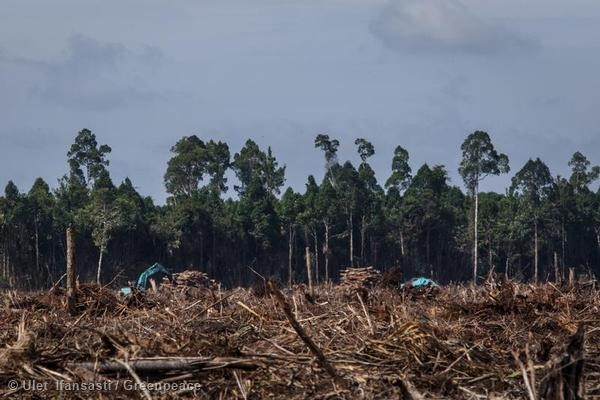 Deforestation at APRIL Concession in Riau