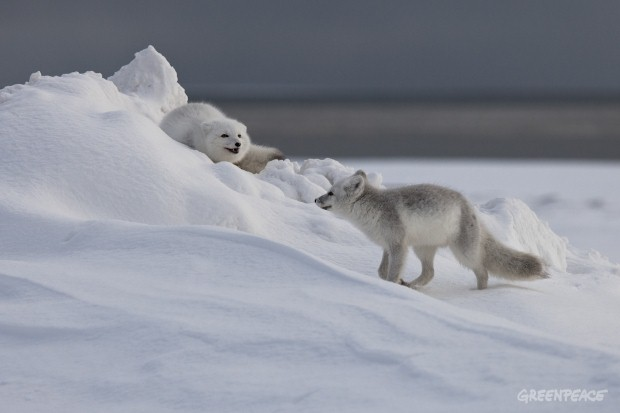 Arctic Fox, Point Barrow, Alaska