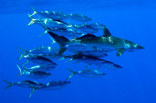 A silky shark and other marine life in the Pacific Ocean