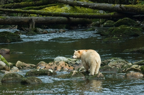 Spirit Bear in Great Bear Rainforest, British Columbia, Canada. 16 Oct, 2007 © Andrew Wright / www.cold-coast.com