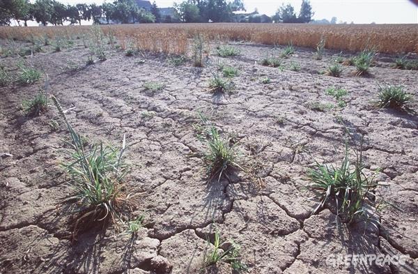 Dried up wheat field with damages of erosion near Doebeln, in Saxony, Germany. © Martin Jehnichen / Greenpeace