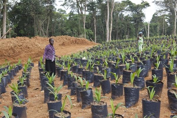 champs de palmier à huile SGSOC