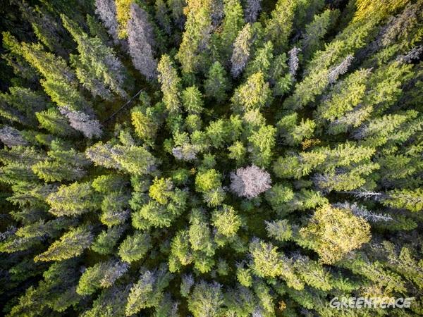 Prales v oblasti Archangelsku, Rusko, 8.11, 2016. © Greenpeace