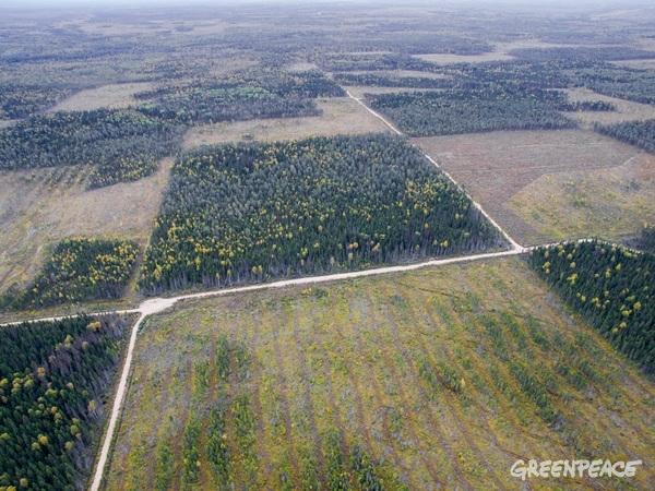 Ničení pralesa v Archangelské oblasti, Rusko, 8. 11., 2016. © Greenpeace