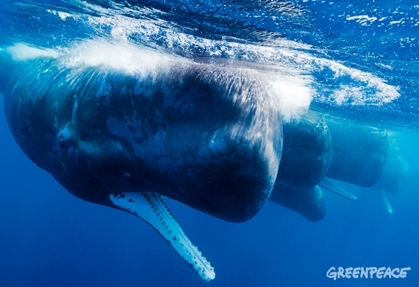 Sperm whales off the coast of Sri Lanka. 18/04/2013  © Paul Hilton / Greenpeace